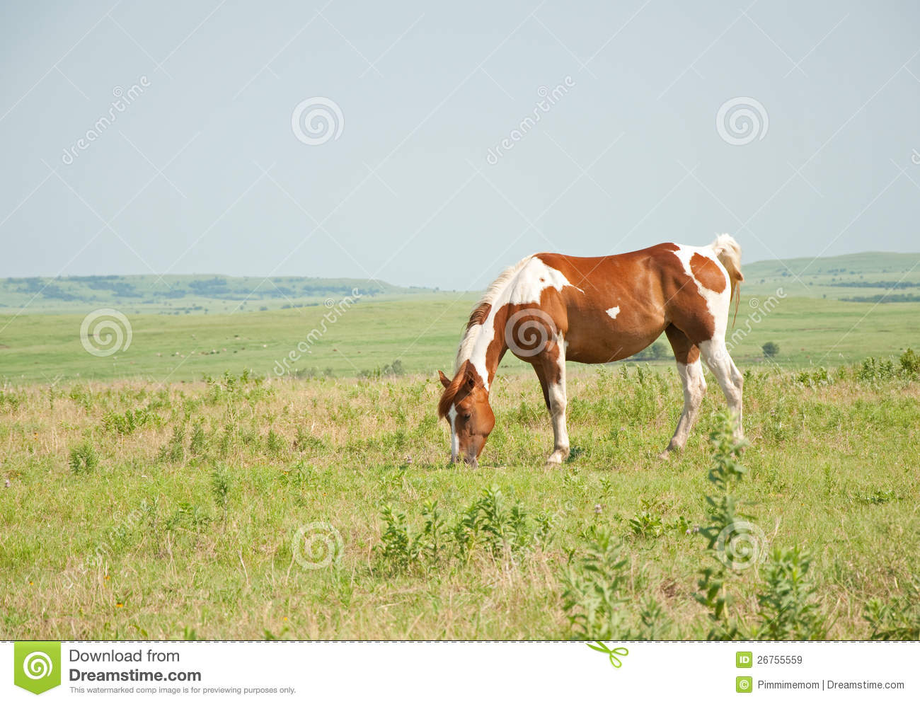 Chestnut And White Paint Horse Grazing In Pasture Royalty ...