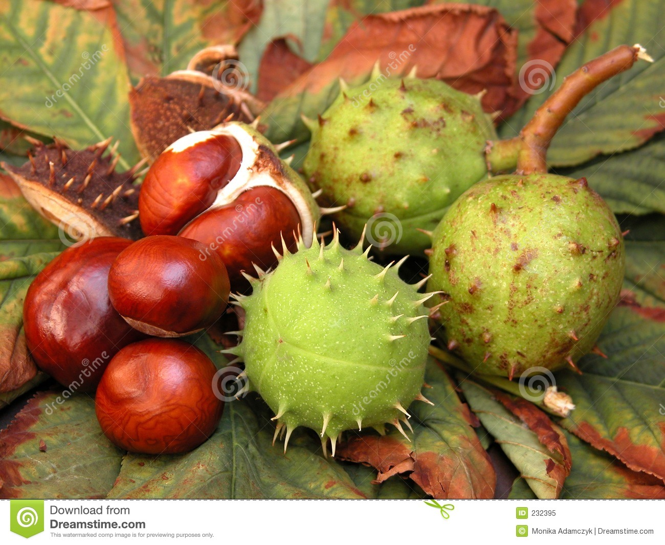 Chestnuts stock image image of nature chestnuts fruit for The chestnut