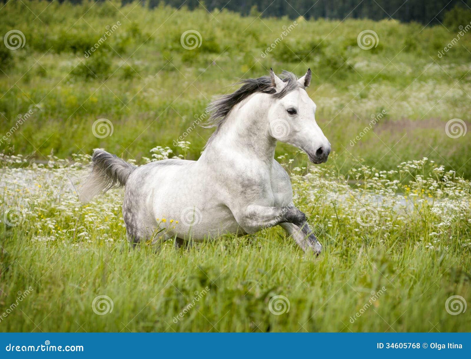 cheval arabe gratuit dans le domaine d t