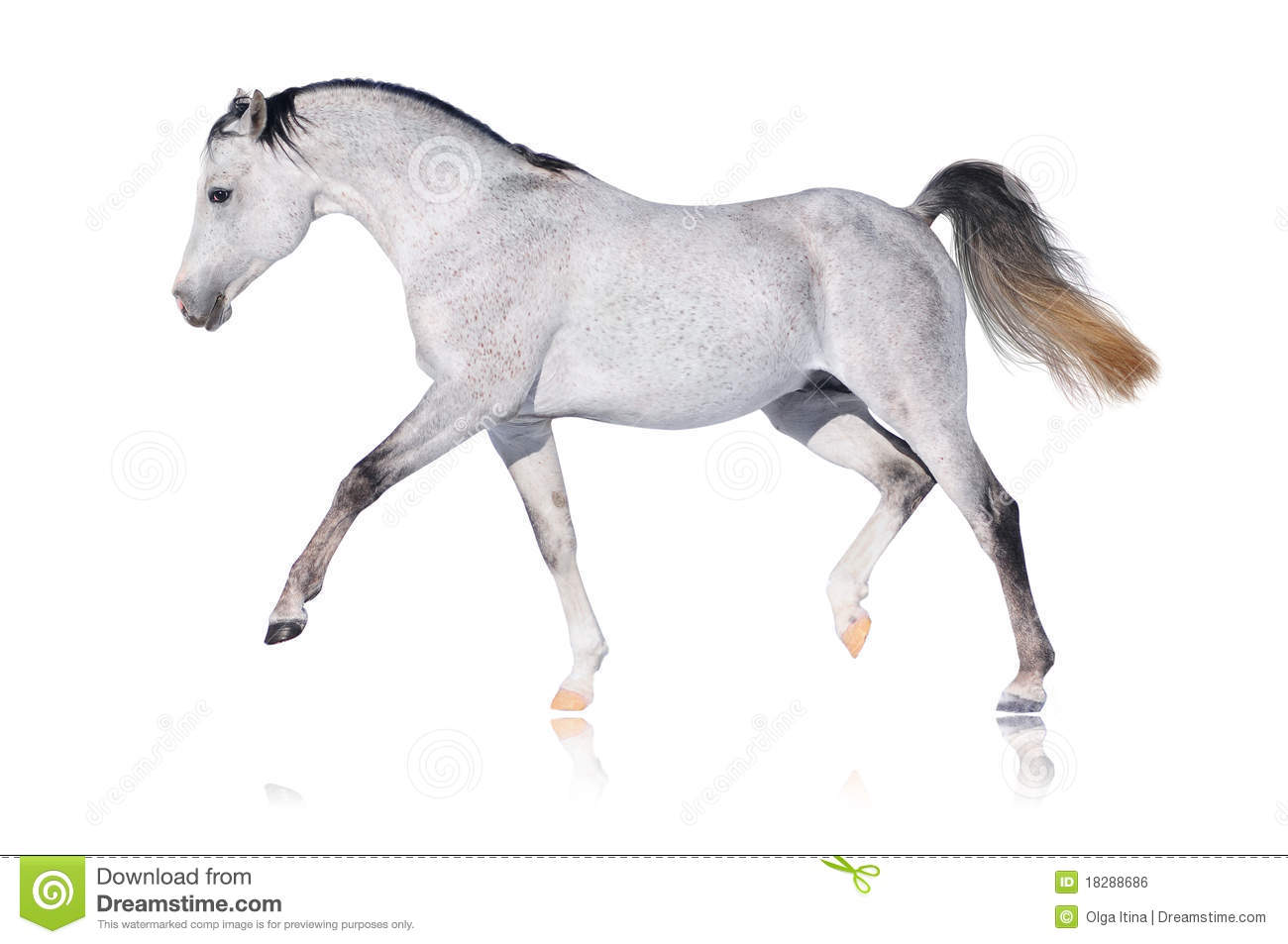 Cheval Arabe gris d isolement