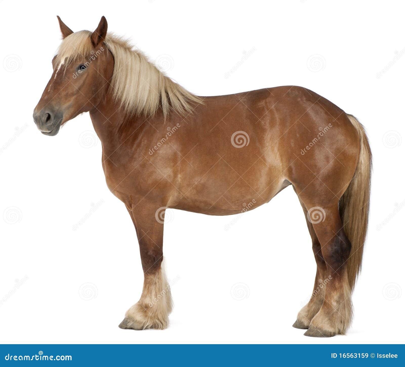 Cheval belge, cheval lourd belge, Brabancon
