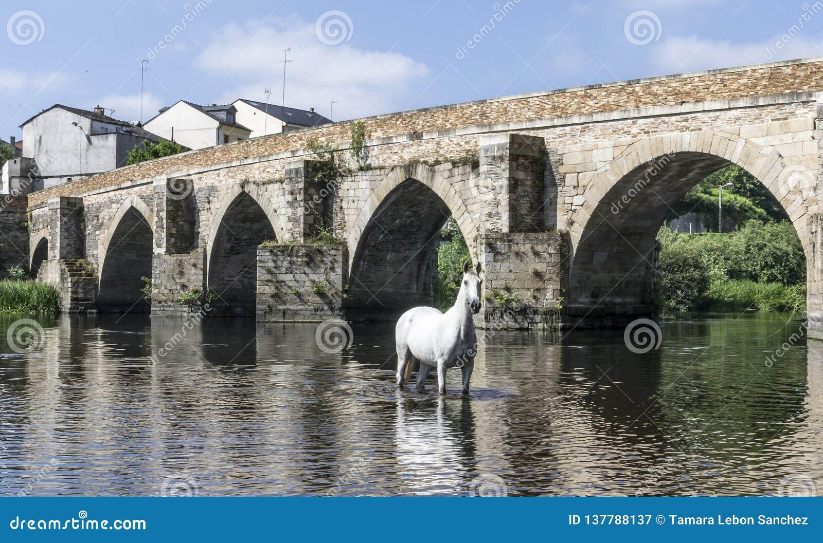Cheval blanc posant en rivière devant un pont romain