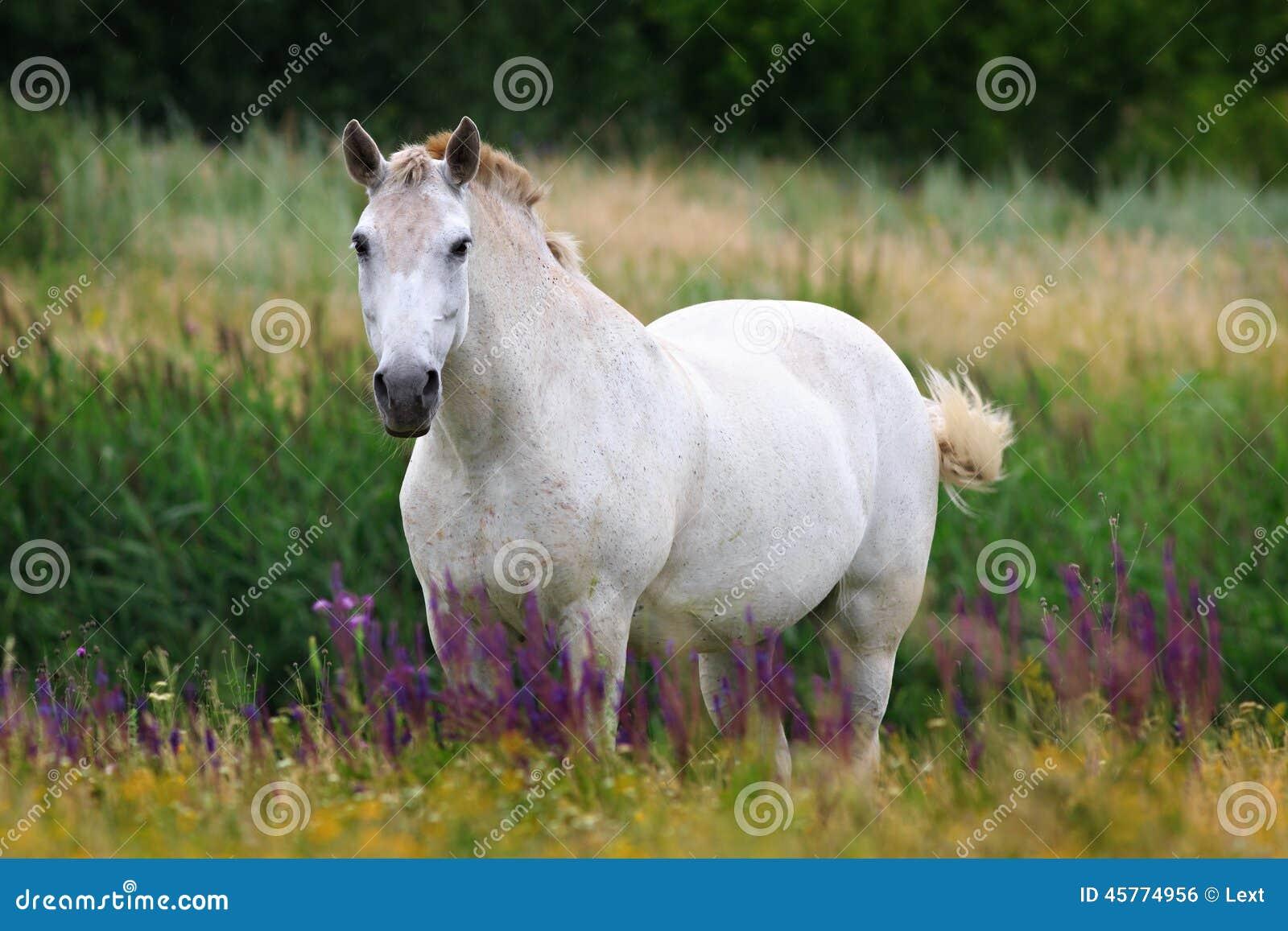 Cheval blanc sur le pâturage d été