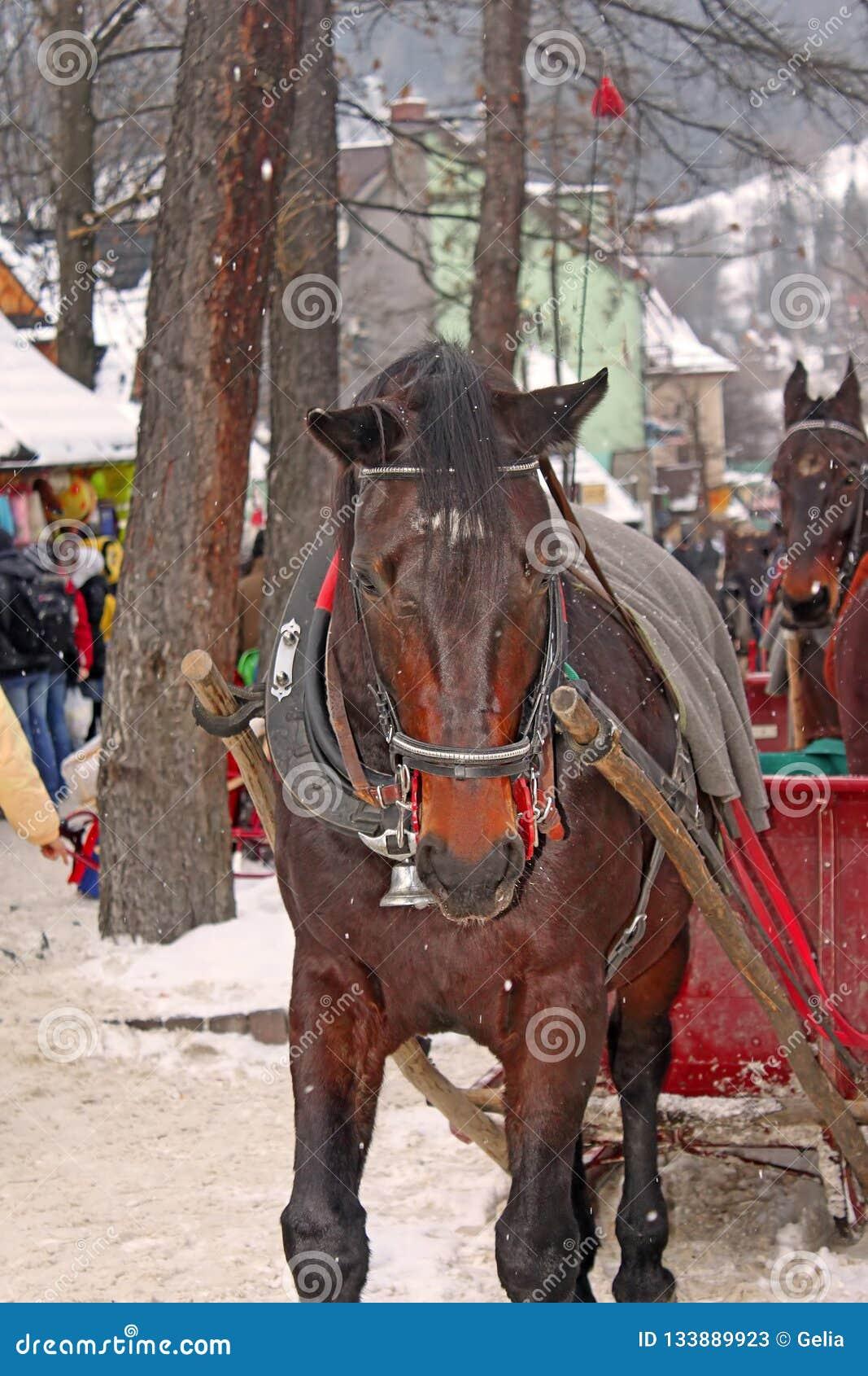Cheval de Brown sur la rue de Krupowki dans Zakopane pendant l hiver