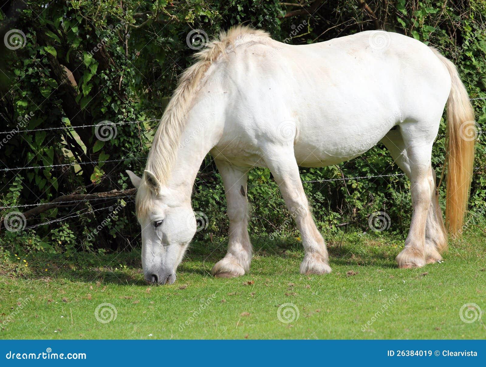 Cheval de comté blanc.