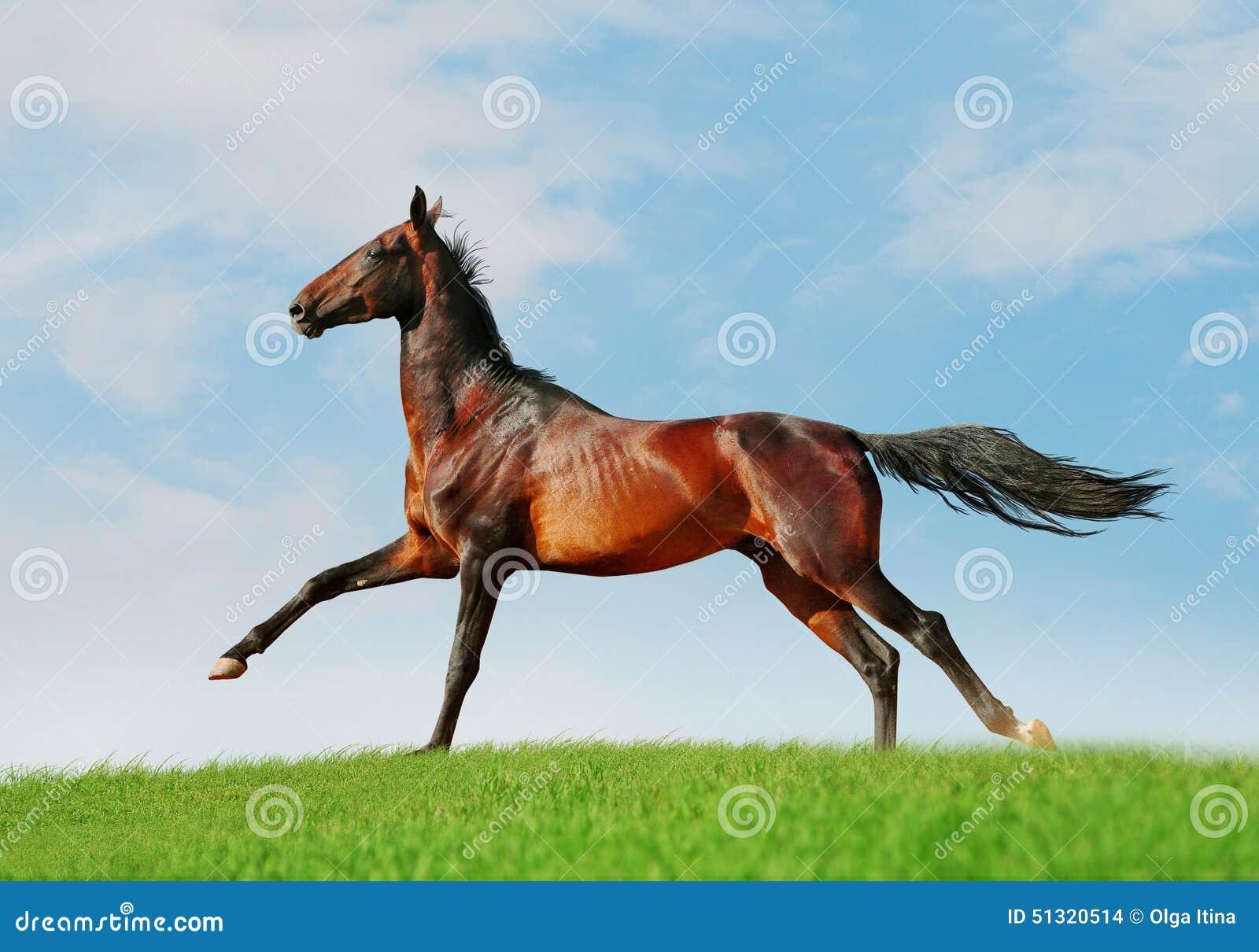 cheval gratuit d akhal teke