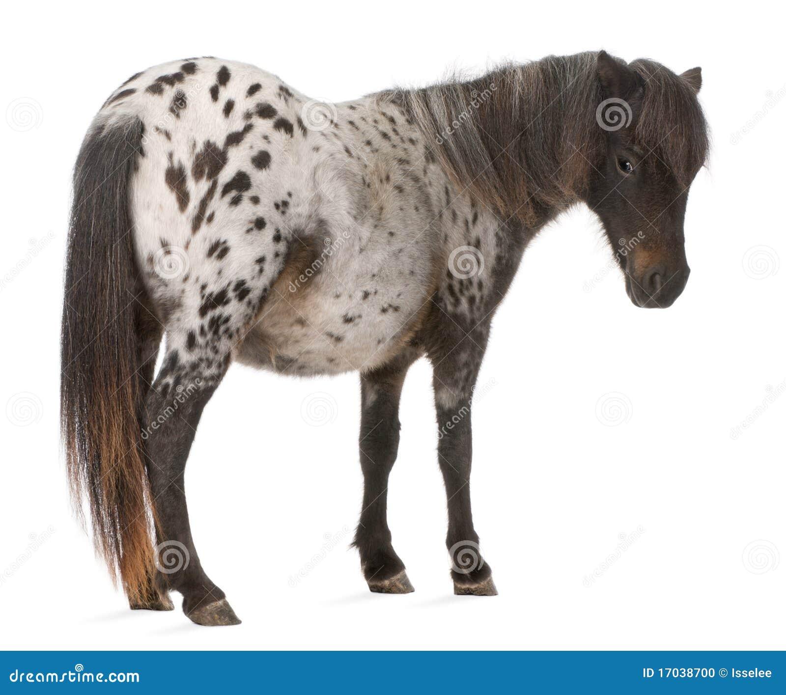 Cheval miniature d Appaloosa, caballus d Equus