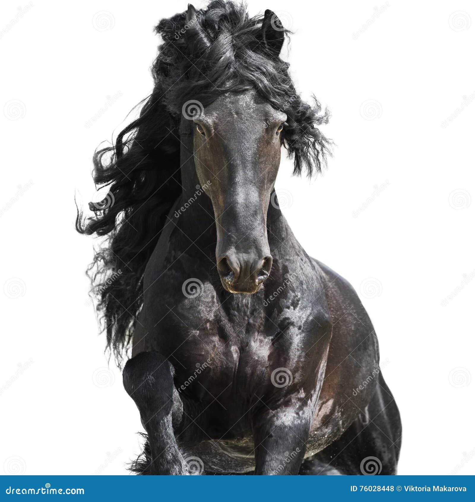 Cheval noir frison d isolement sur le blanc