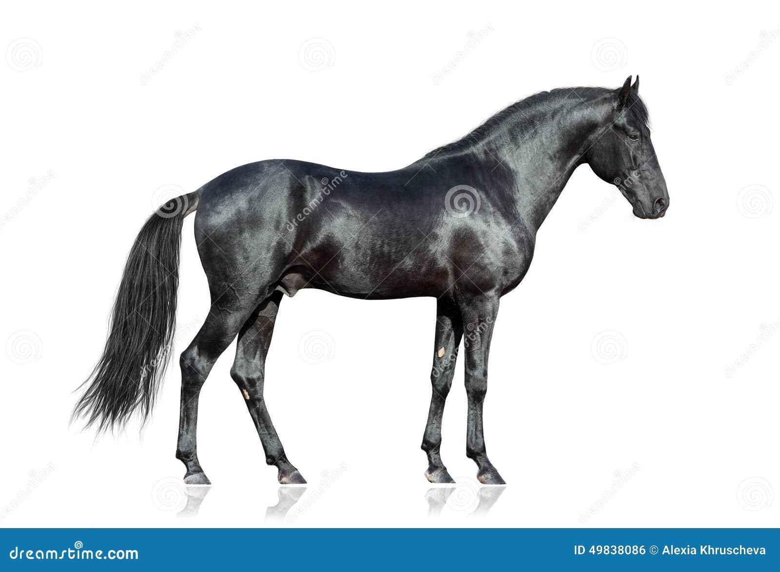 cheval noir sur le fond blanc photo stock image 49838086. Black Bedroom Furniture Sets. Home Design Ideas