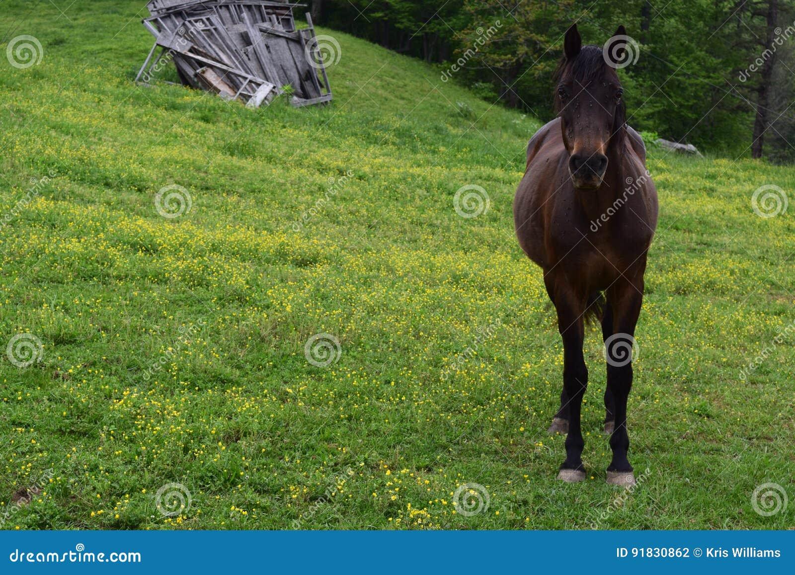 Cheval occidental de ferme de montagne d OR