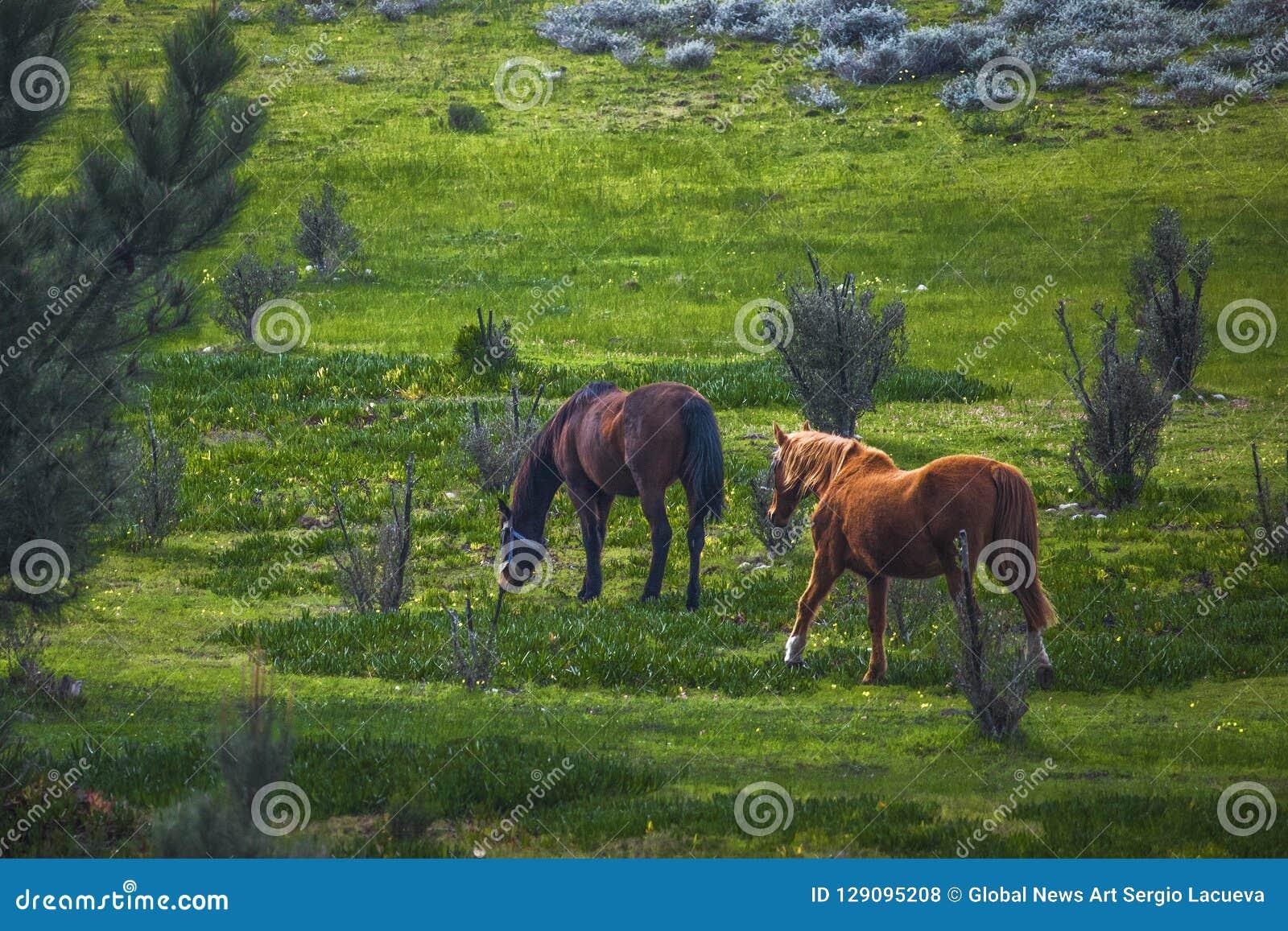 Chevaux d étalon et de jument marchant dans un domaine vert à une ferme