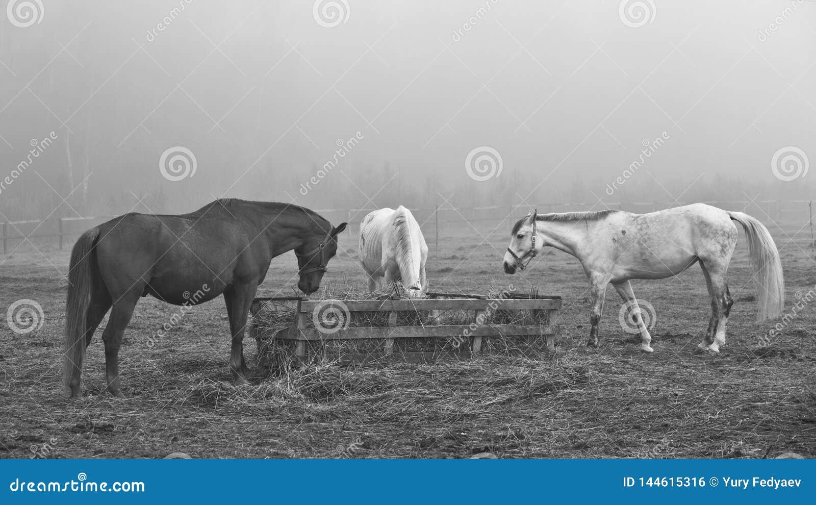 Chevaux dans le domaine, dans le pâturage mangeant le foin