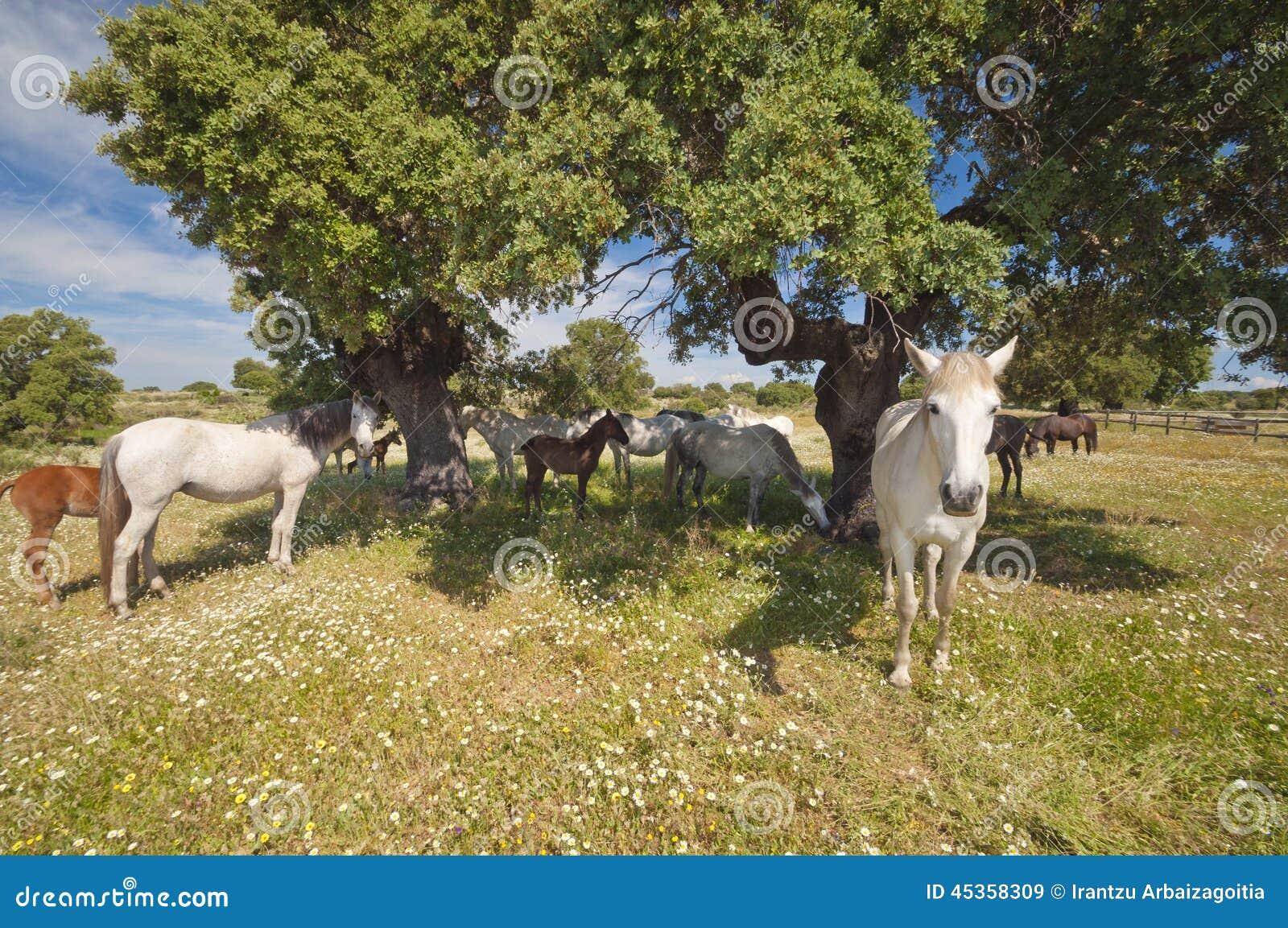 Chevaux dans les pâturages complètement des chênes Journée de printemps ensoleillée en Estrémadure, l Espagne