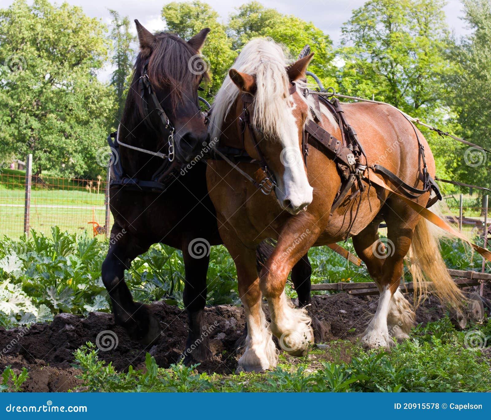 chevaux de trait photos libres de droits image 20915578. Black Bedroom Furniture Sets. Home Design Ideas