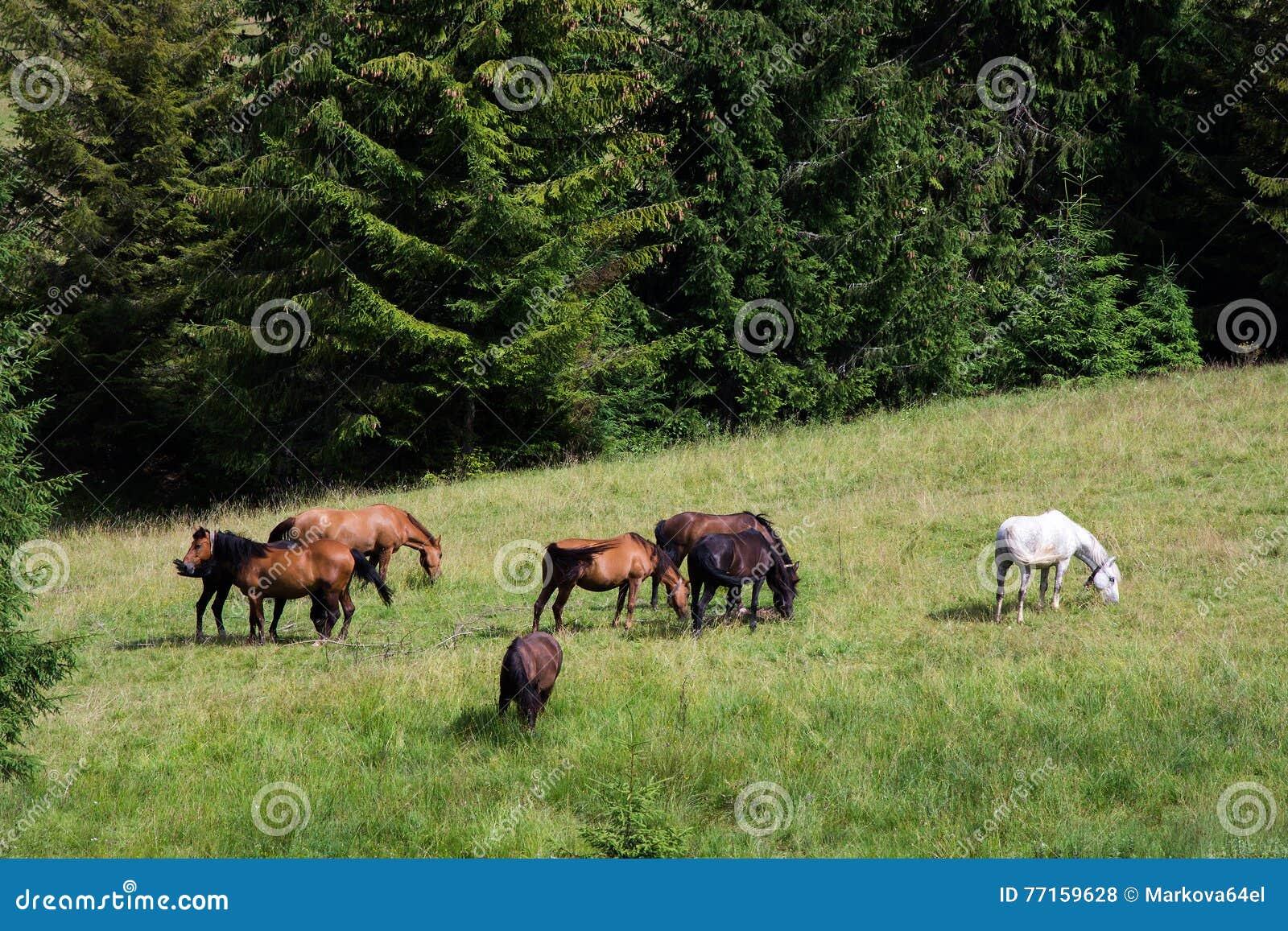 Chevaux frôlant dans un pâturage dans les montagnes