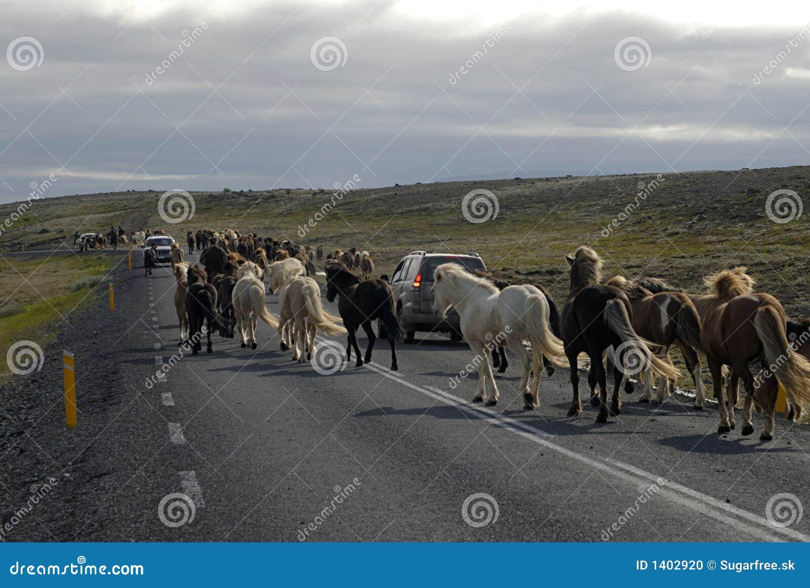 Chevaux islandais passant la route