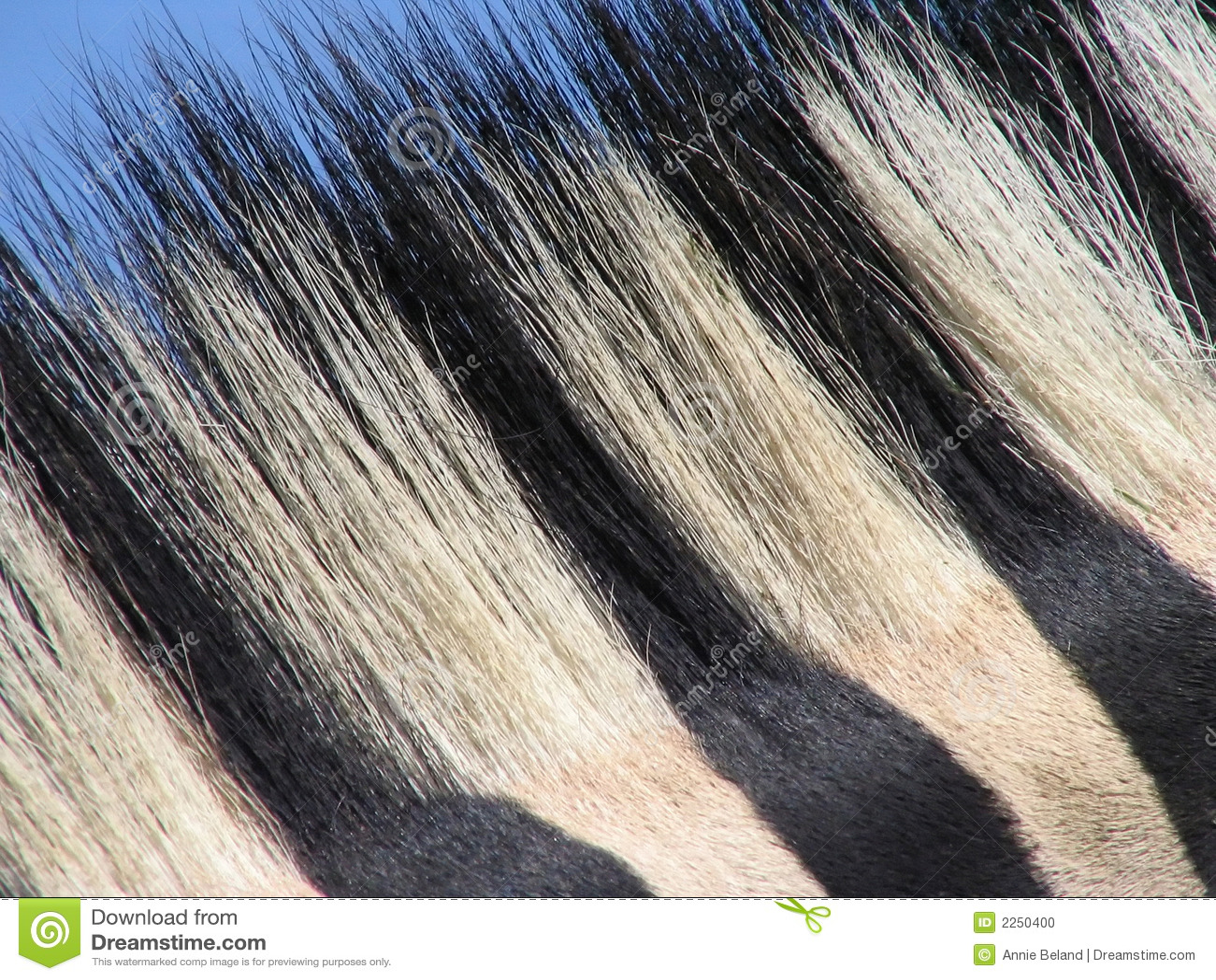Cheveu de zèbre