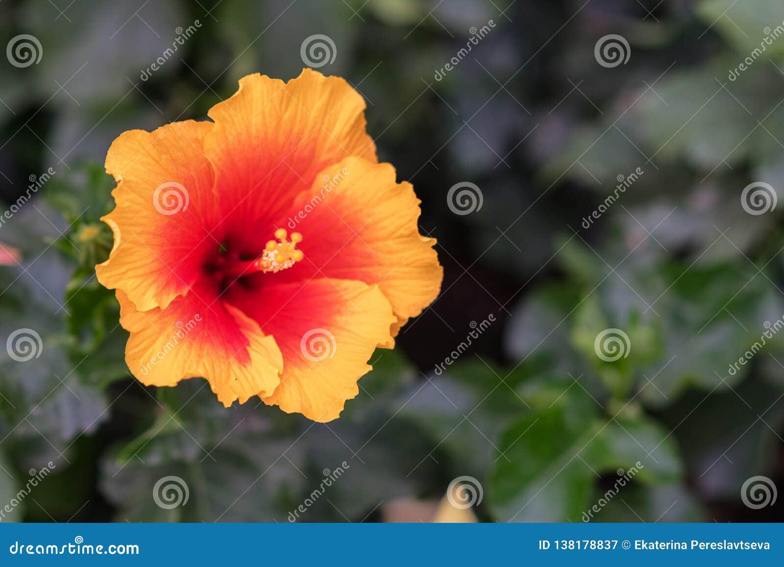 Chińczyk wzrastał, także dzwoni poślubnik, należy rodzina Malvaceae