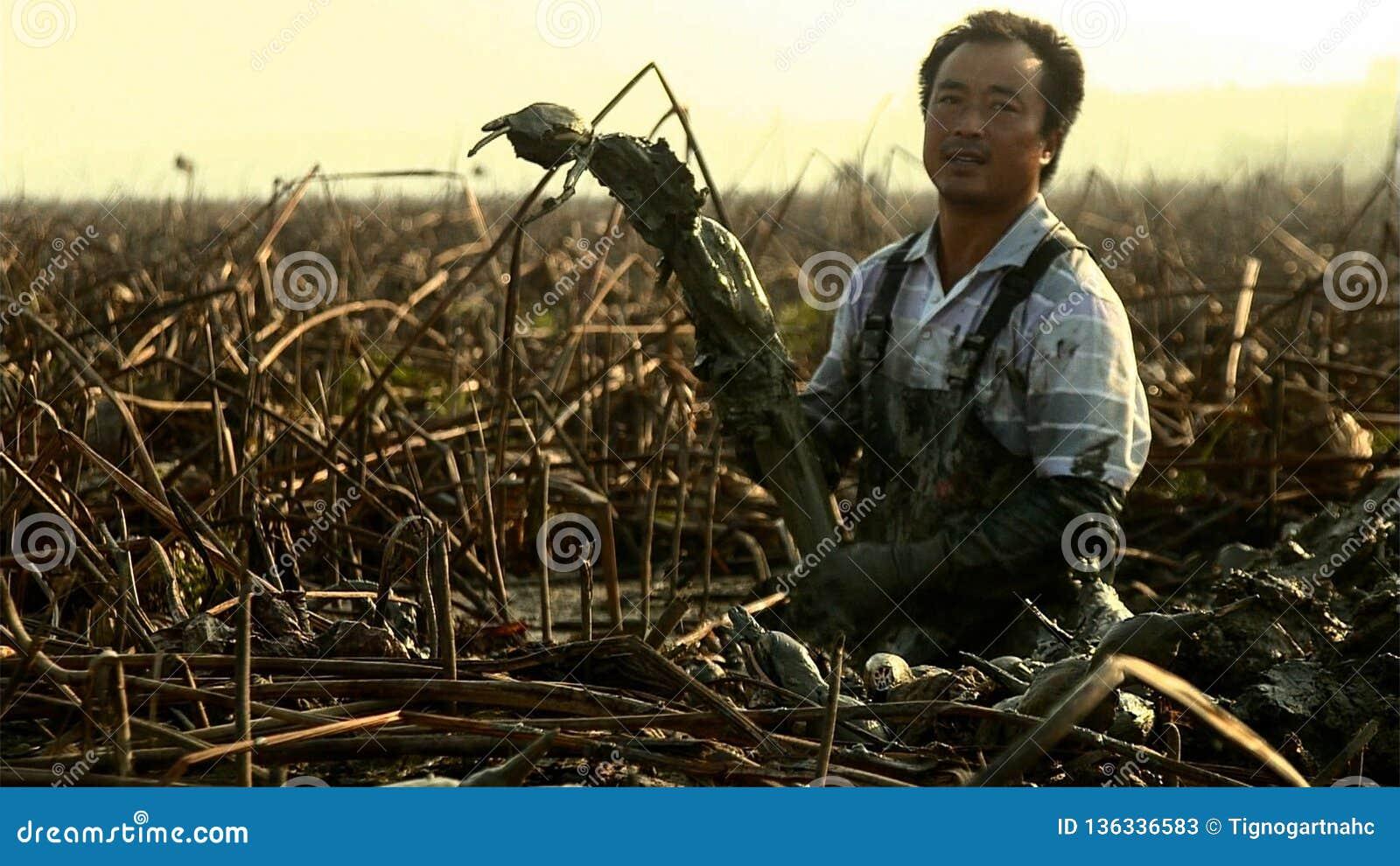Chińscy mężczyźni kopią za lotosowych korzenie ja jest wysokim fedrunku warzywem który r głęboko w namule yunnan Chiny