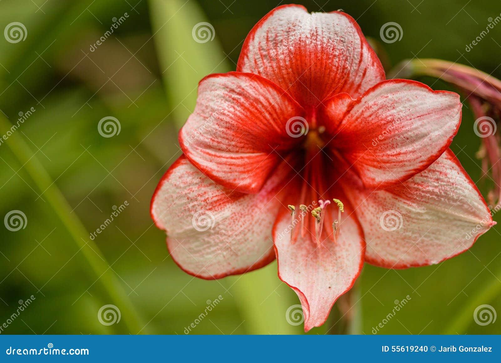 Chiński hibiskus