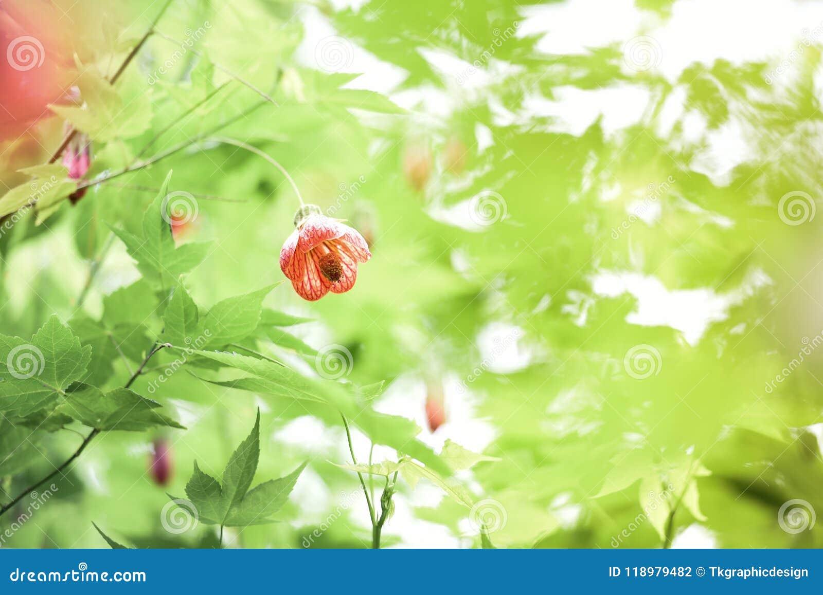 Chiński Latarniowy Drzewny okwitnięcie, Tygrysi oko,