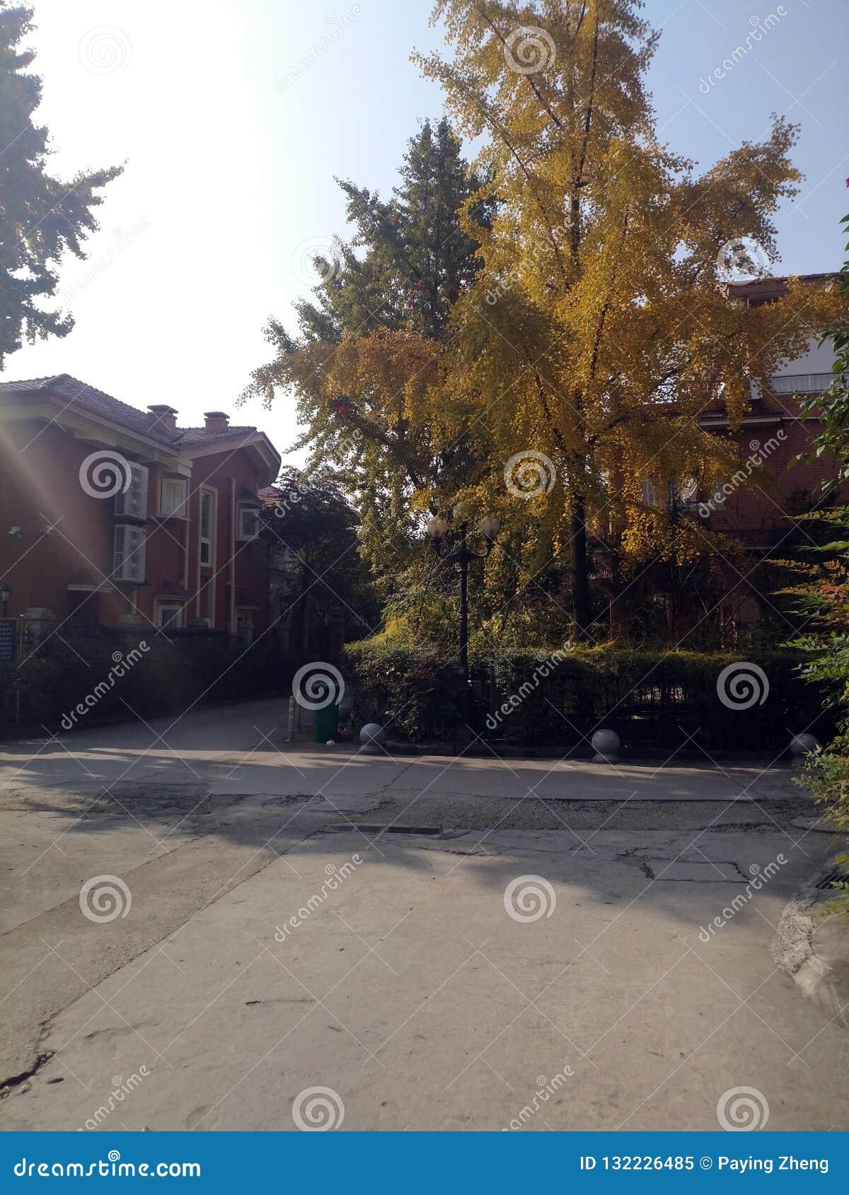 Chiński willi i ginkgo drzewo w słońcu