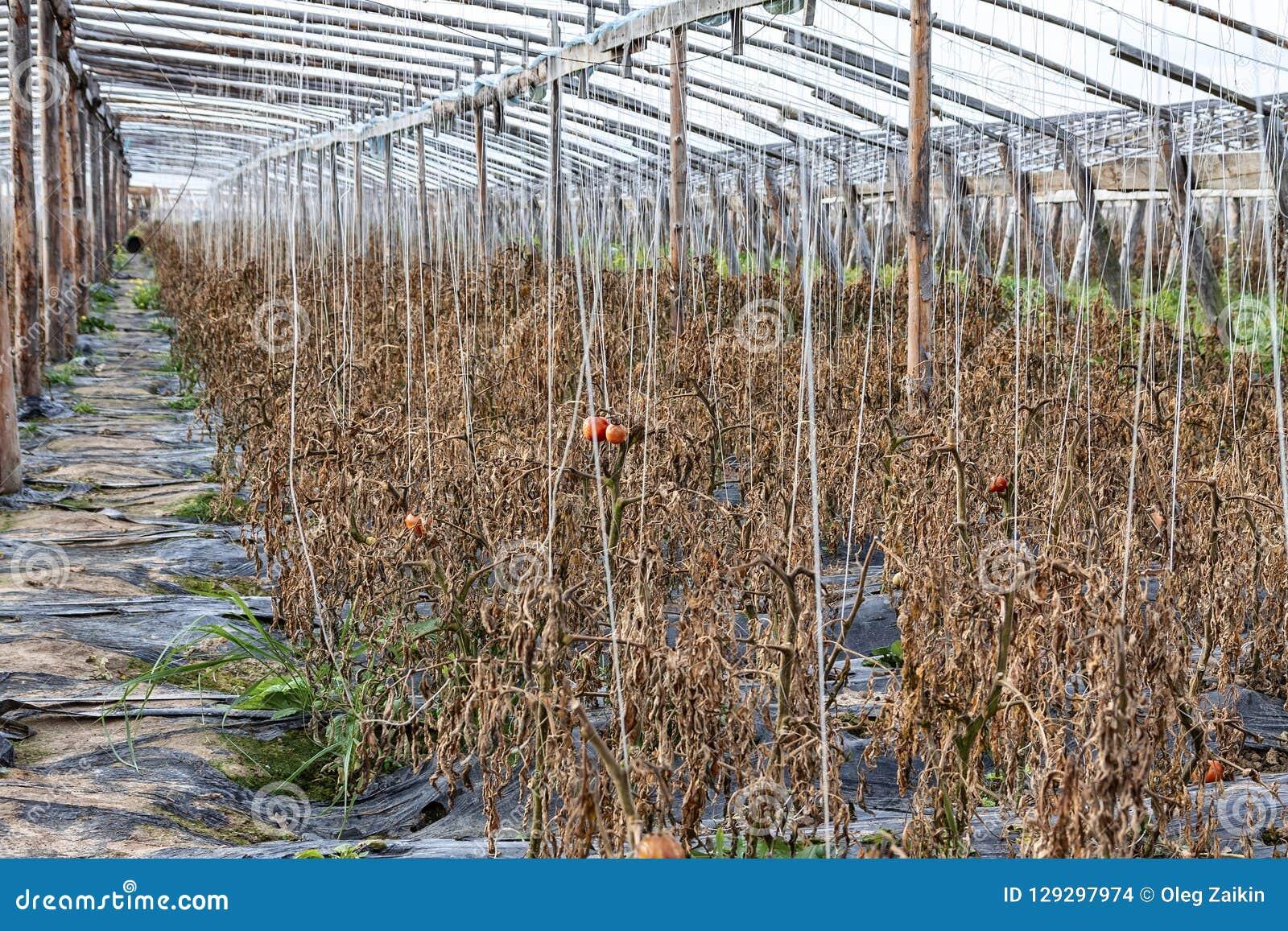 Chińskie szklarnie w spadku po żniwa