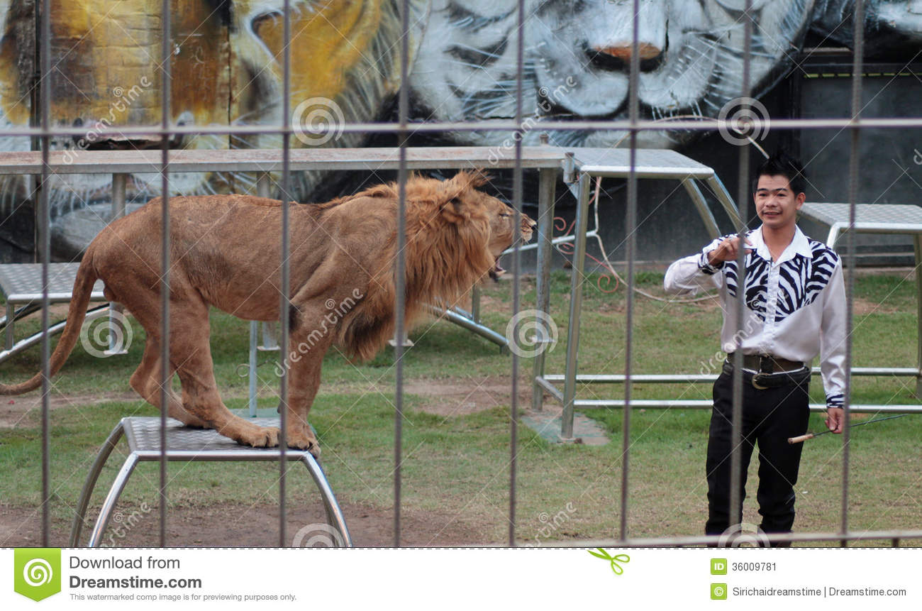 Chiang mai thailand december 12 2013 tiger show at - Show me a picture of the tiger ...