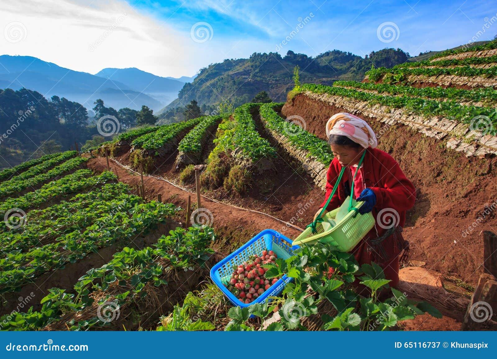 CHIANGMAI THAILAND - 11 JANUARI: aardbeienlandbouwer het oogsten