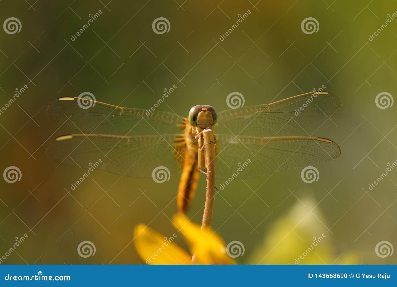 Chiara libellula visibile delle ali nel nature' mondo di s