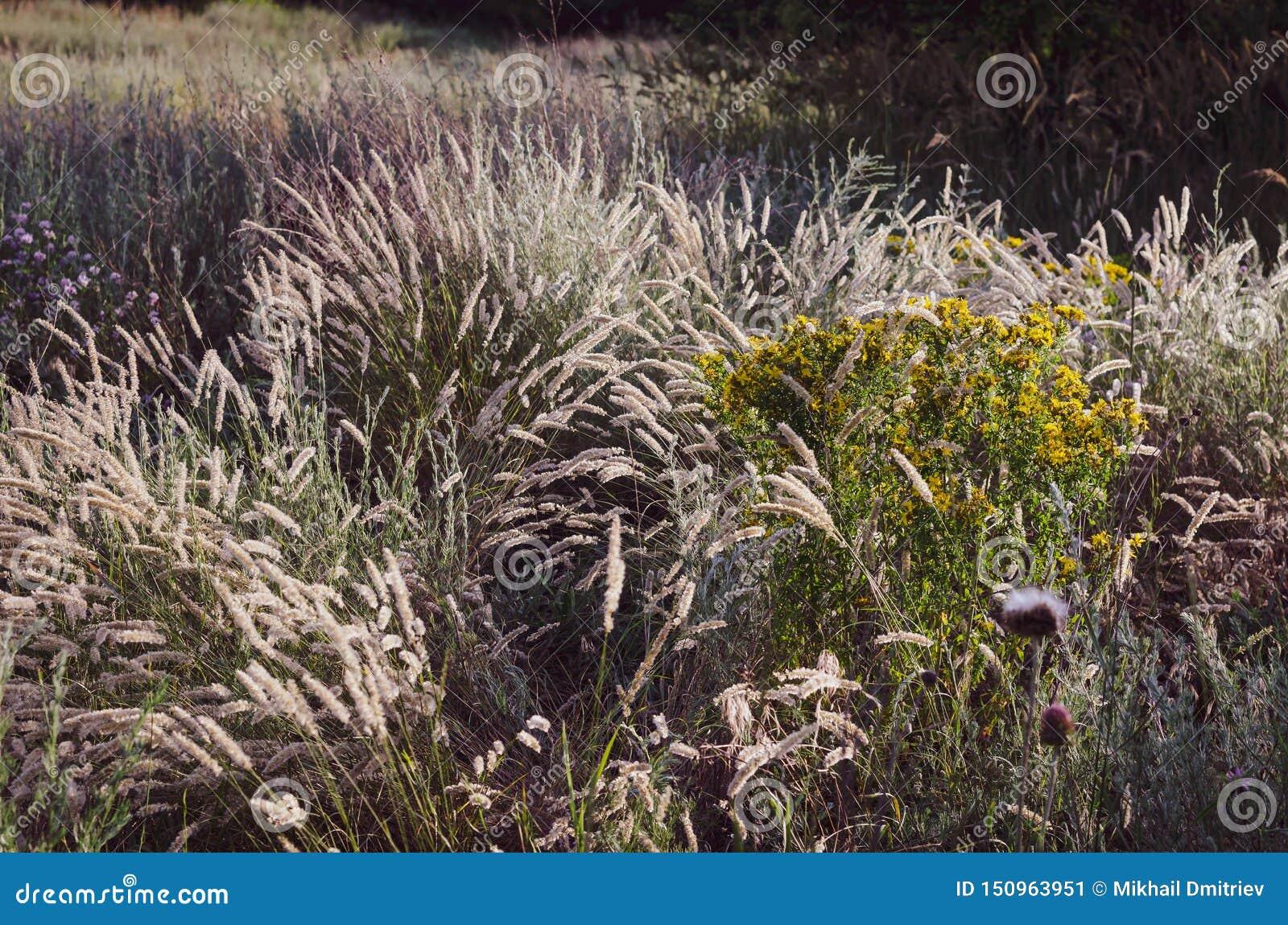Chiara luce solare luminosa delle spighette di mattina sui precedenti di un campo di estate delle erbe selvagge Fuoco molle