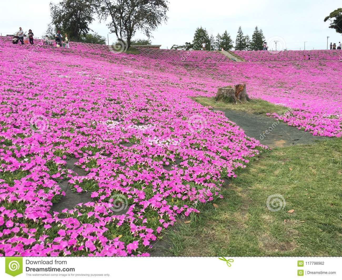 Pink Flower Field At Mother Farm Editorial Photography Image Of