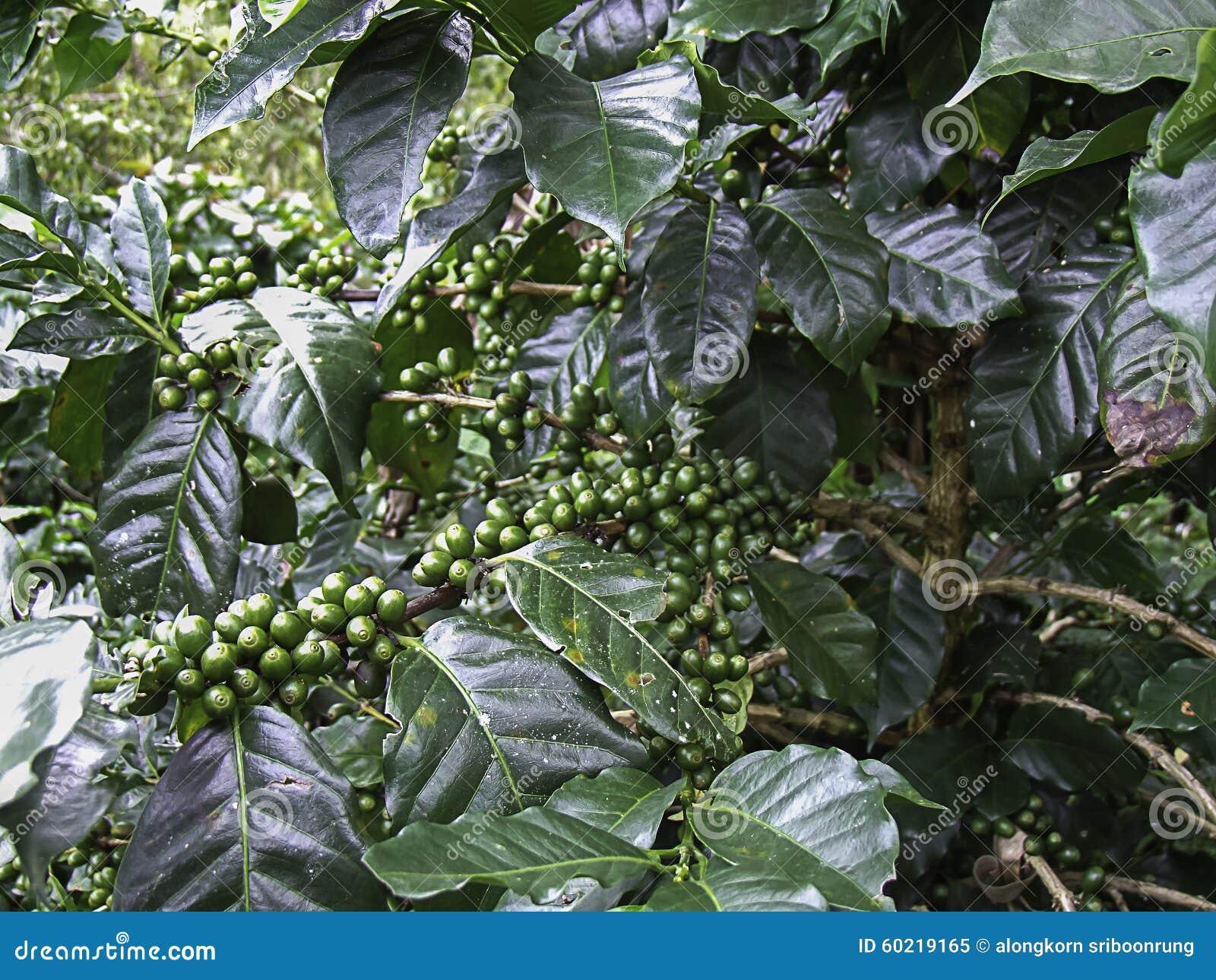 Chicco di caff verde pianta del caff con i fagioli for Pianta da pavimento verde