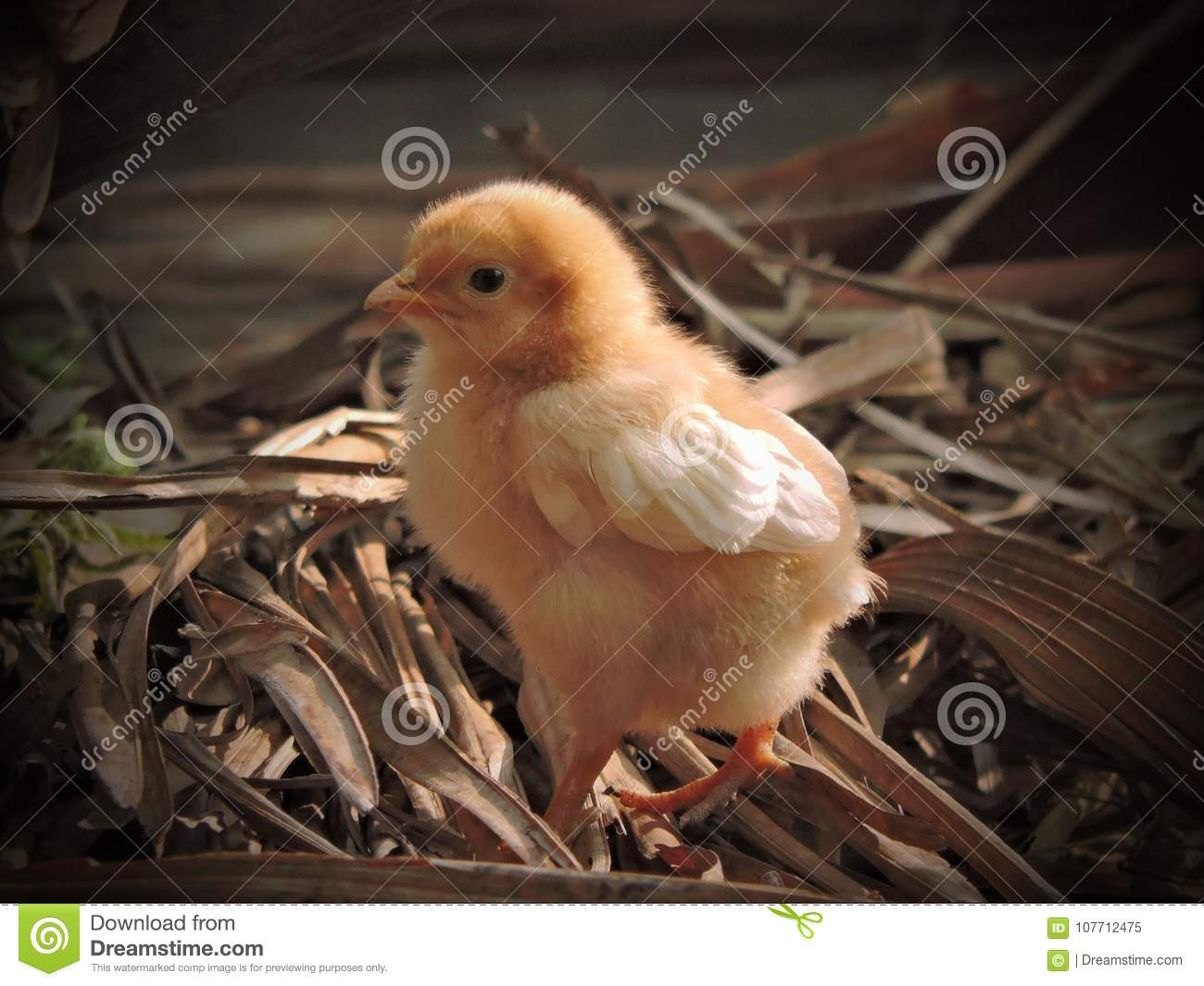 Cute chicks stock image. Image of beach, photography ...