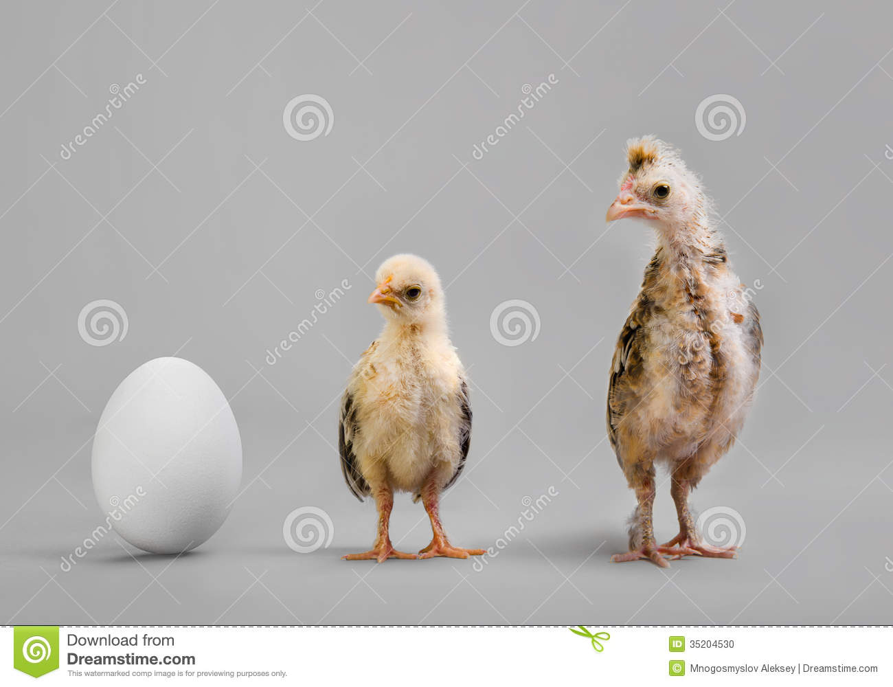 Chick And Egg Stock Photo Image Of Fowl Cloning Adolescent 35204530