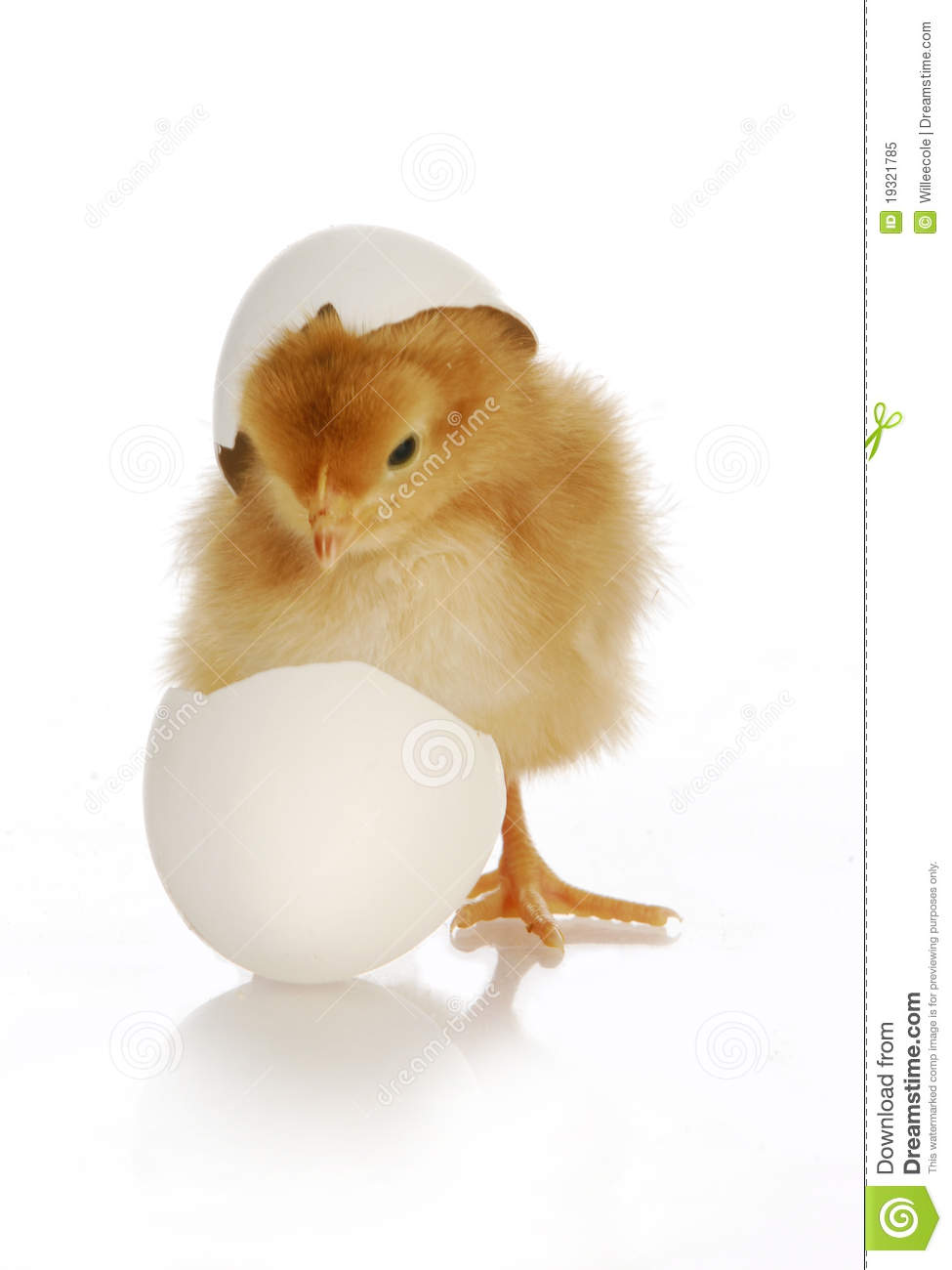 Chick hatching - cute newborn chick coming out of the egg on white ...