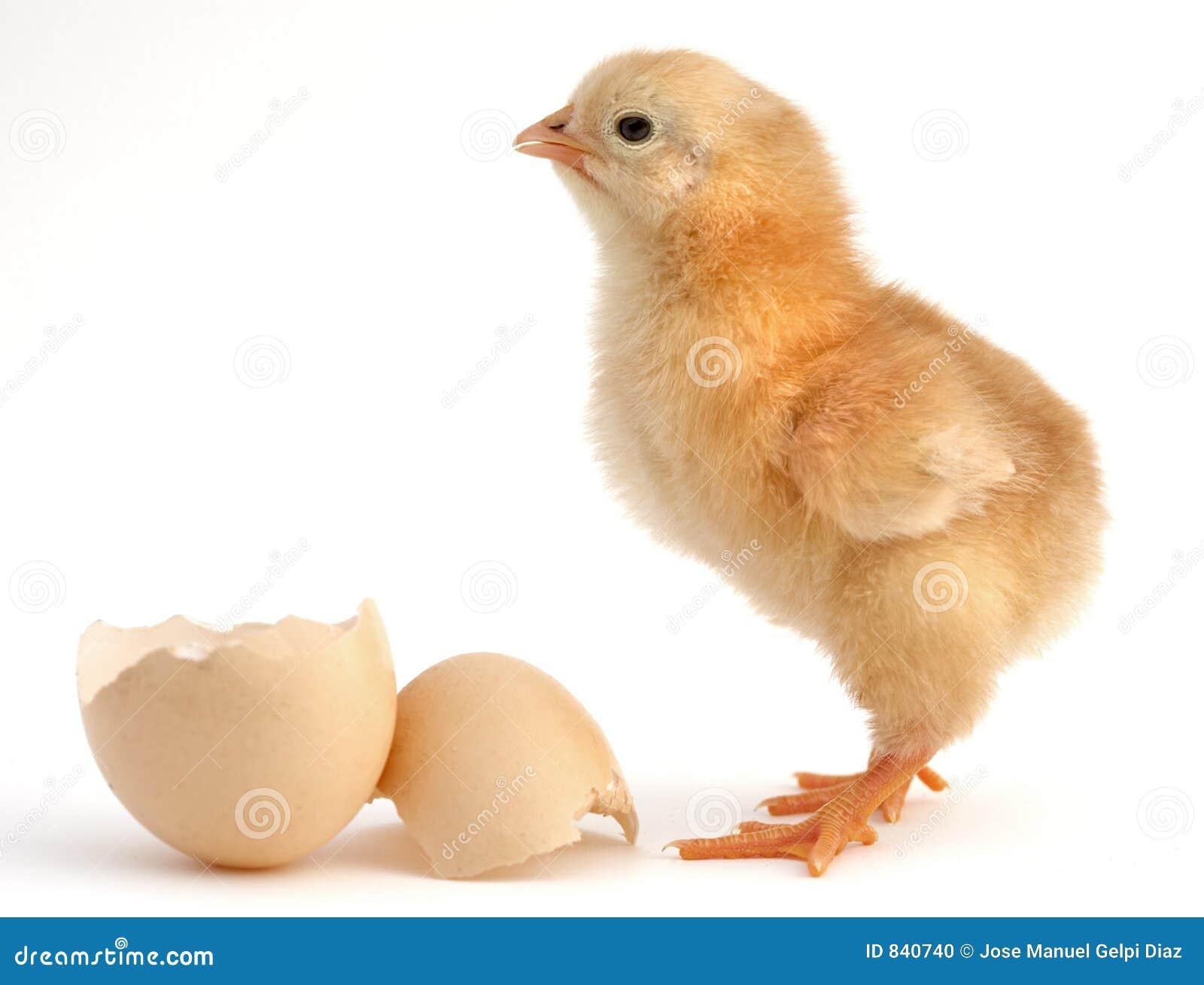 Chick new born stock photo image 840740