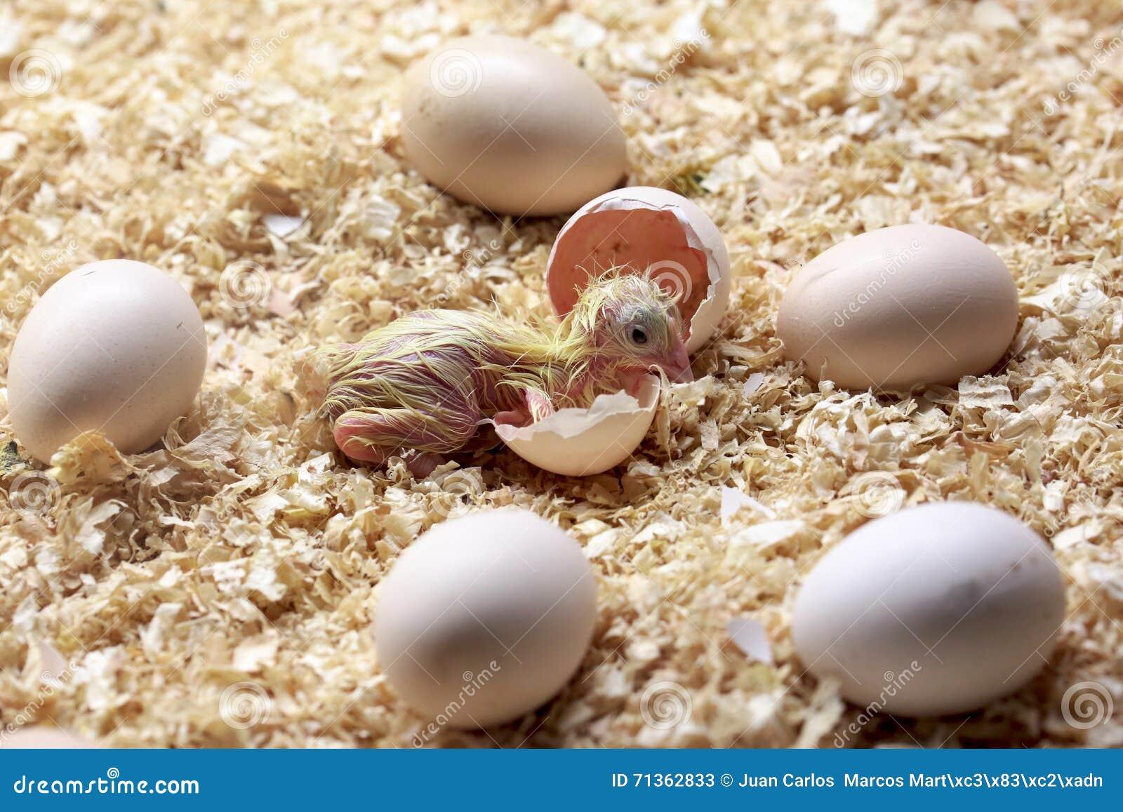 A chick newborn