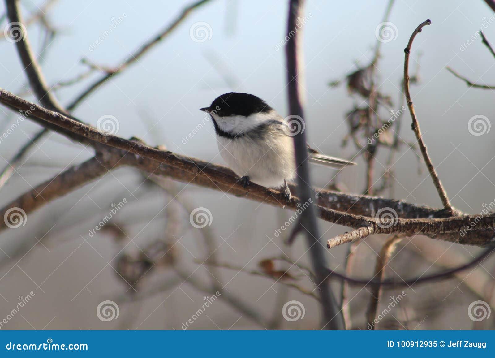 Chickadee покрынный чернотой