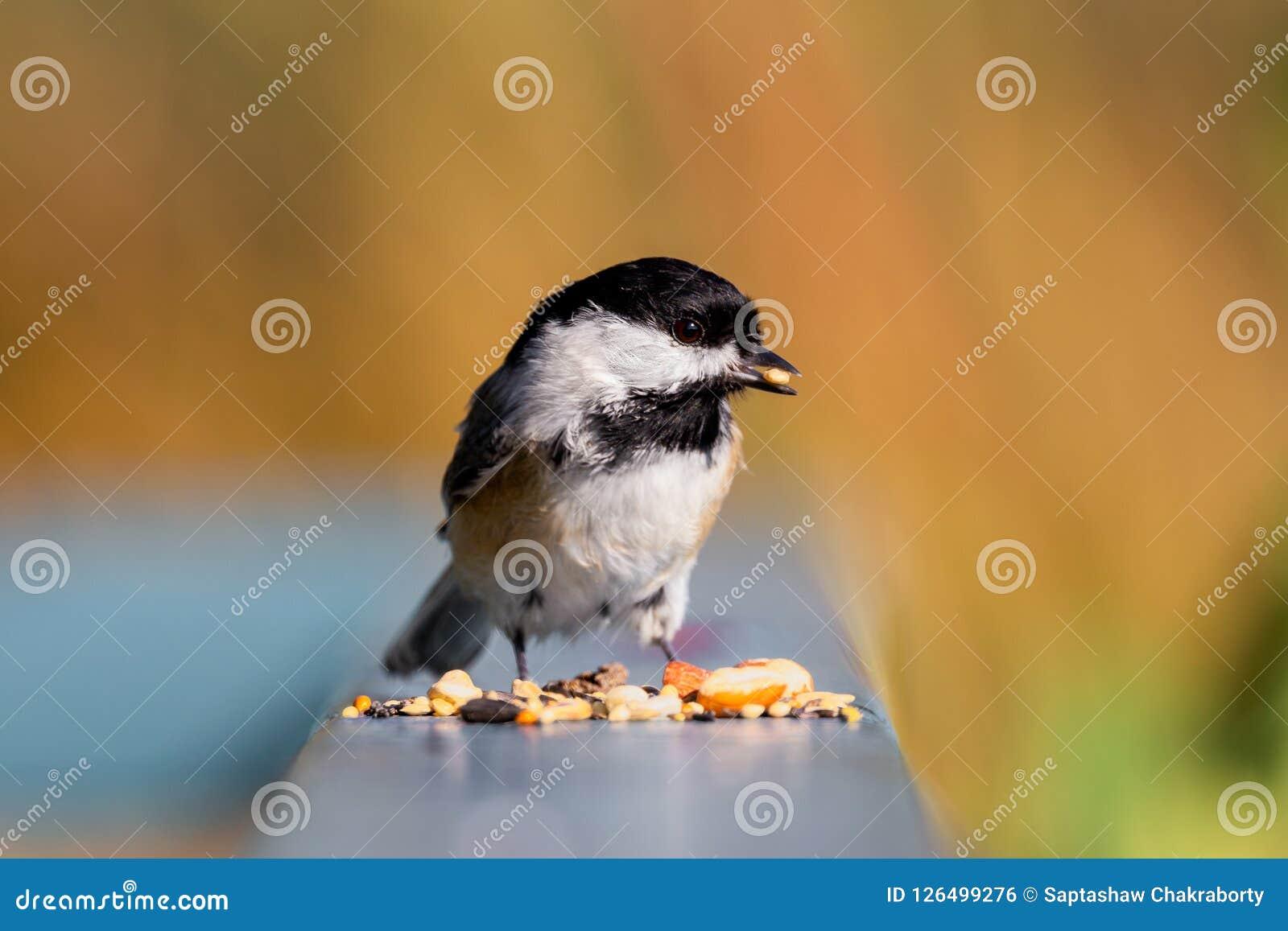 Chickadee покрытый чернотой с едой