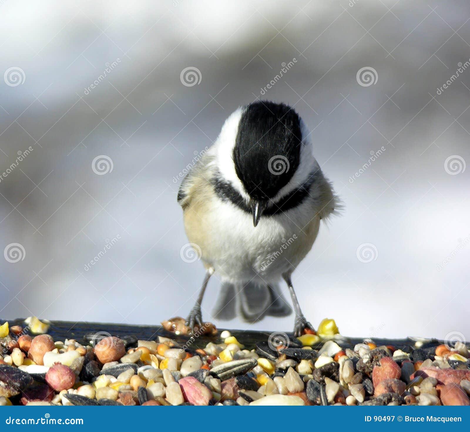 Chickadee 4