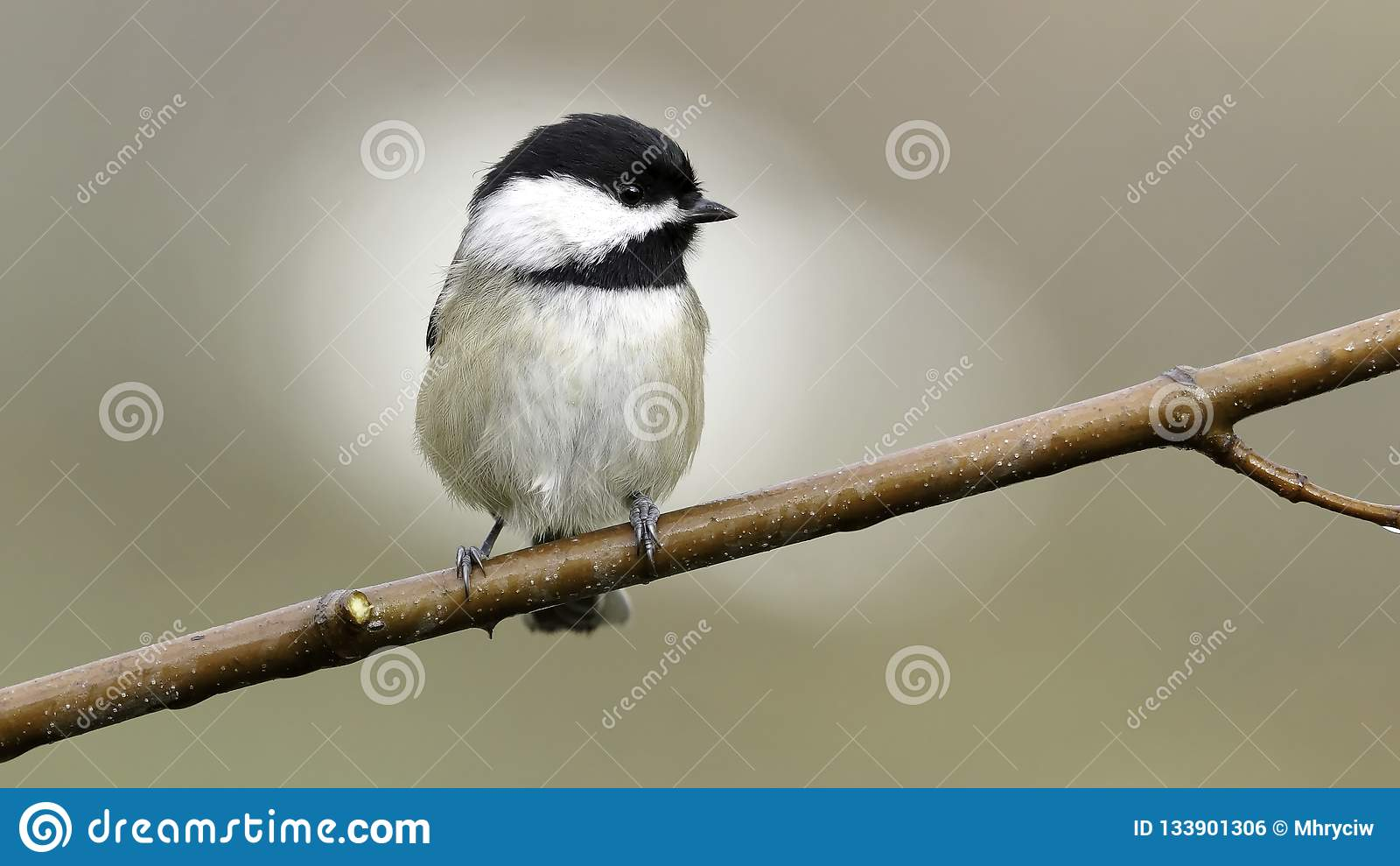 Chickadee Alone on A Branch Small Bird