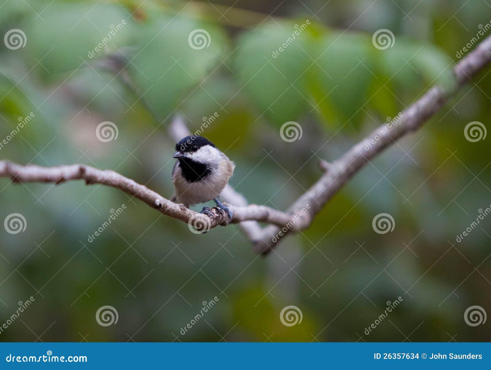 Chickadee auf einem Zweig