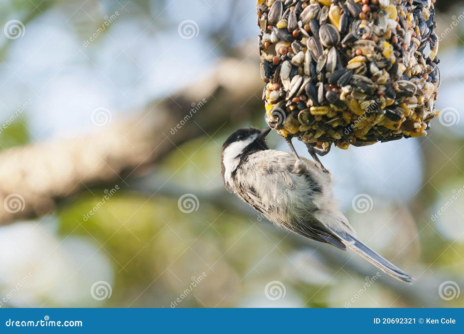 Chickadee auf Vogelzufuhr