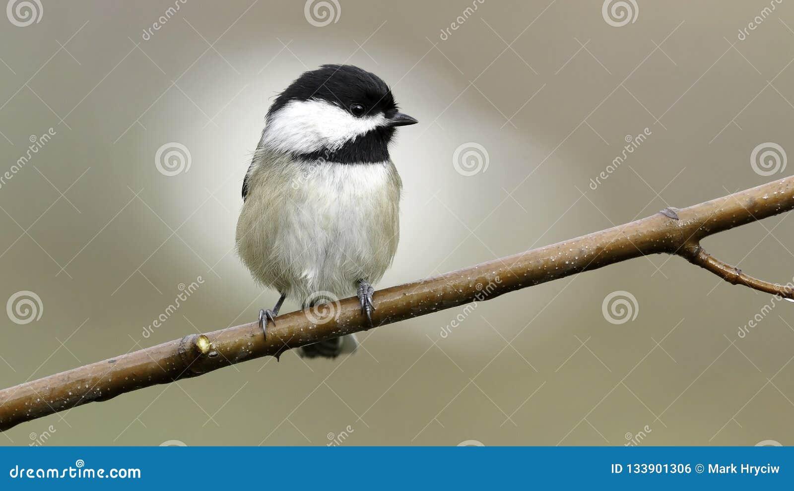 Chickadee da solo su un piccolo uccello del ramo