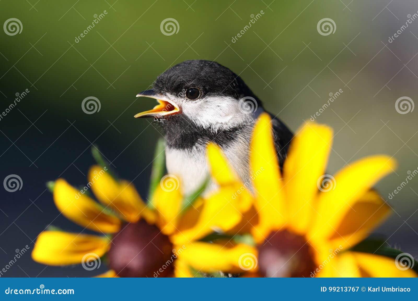 Chickadee and flower