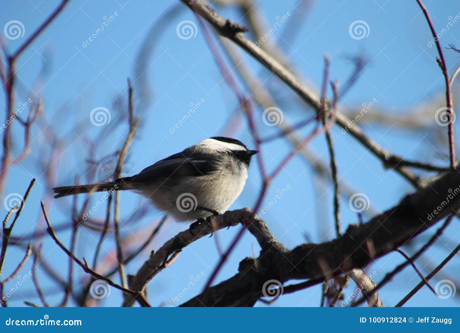Chickadee Noir-recouvert