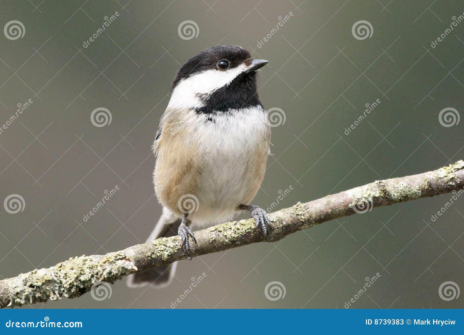 Chickadee pequeno do pássaro