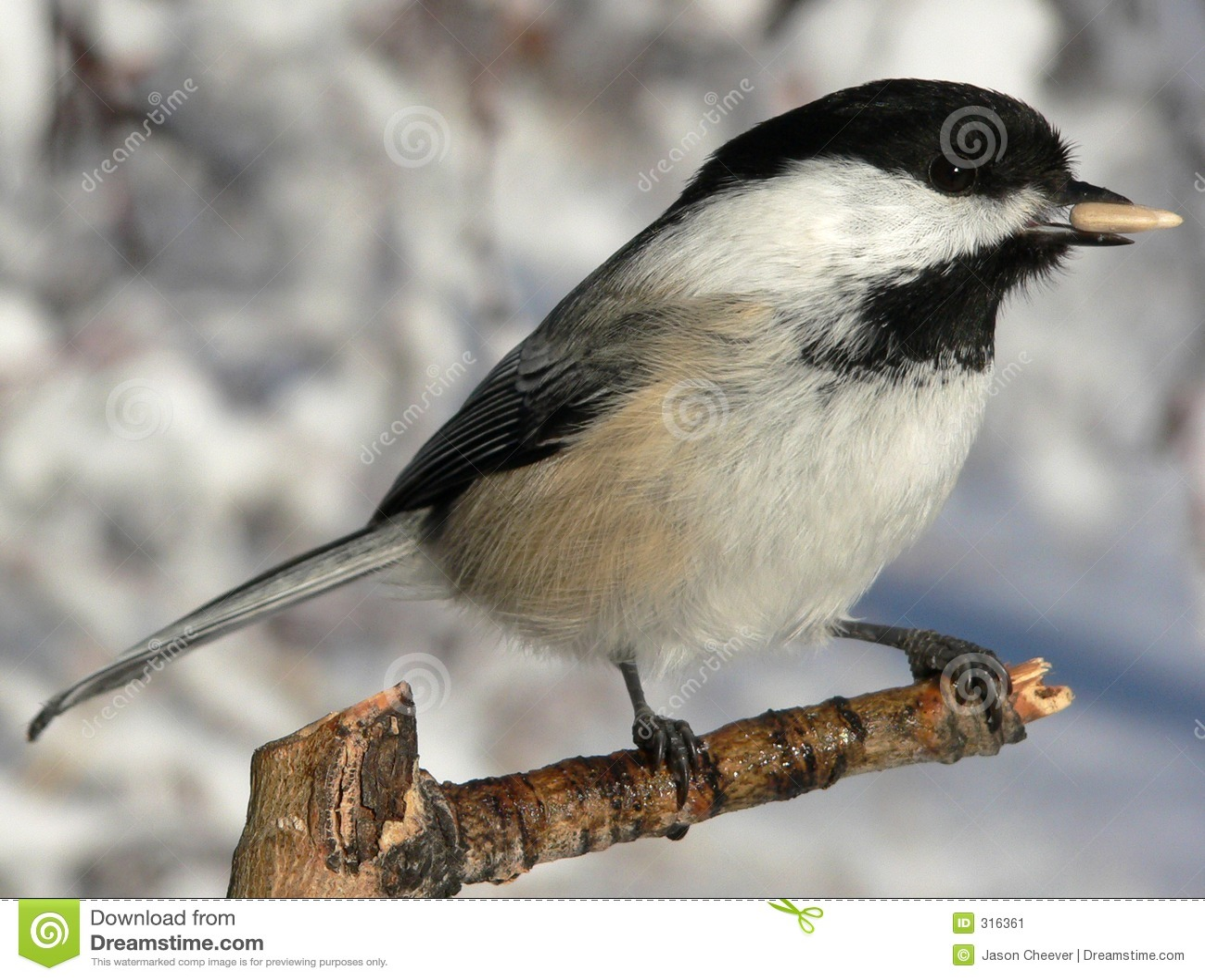 Chickadee Preto-tampado