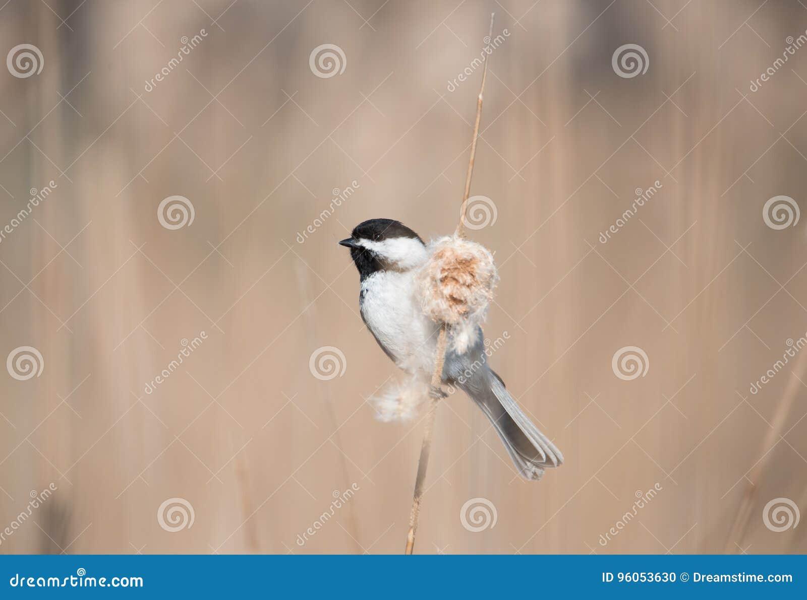 Chickadee recouvert par noir
